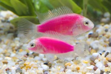 Тайваньские биоинженеры впервые вывели флуоресцентных розовых рыбок