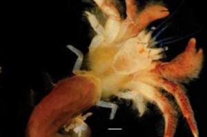 Обнаружен новый вид рака-отшельника