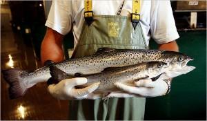 FDA: Генетически модифицированный лосось безвреден