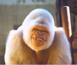 Общительные гориллы живут дольше застенчивых