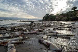 В Калифорнии регистрируют массовую гибель кальмаров Гумбольдта