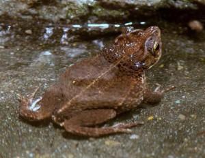 На остров Пуэрто-Рико массово завозят головастиков хохлатой жабы