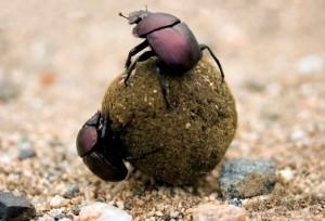 Исследователи одевали навозным жукам специальные колпаки, чтобы блокировать свет от внешних источников