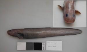 У Новой Зеландии обнаружен новый вид морского налима
