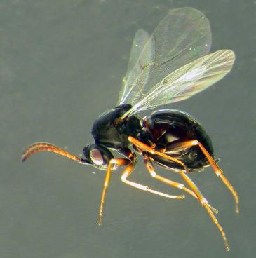 Испанские энтомологи обнаружили два новых вида орехотворок