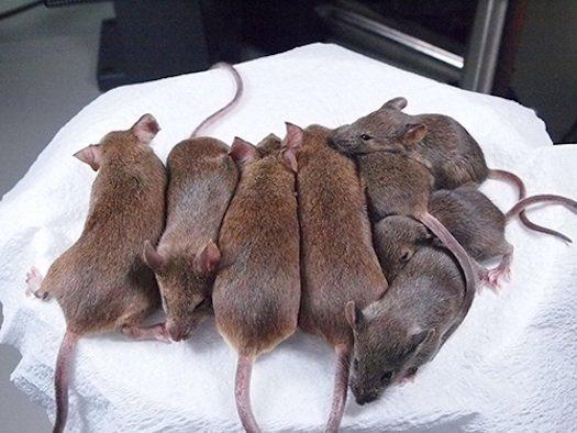 Японские ученые клонировали 25 поколений мышей