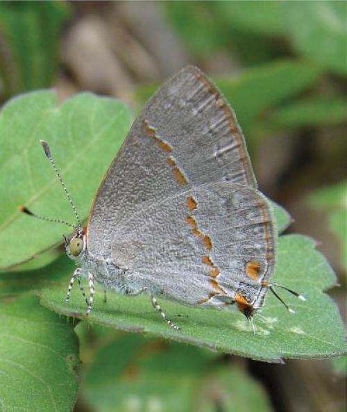 В США открыт и описан новый вид бабочек
