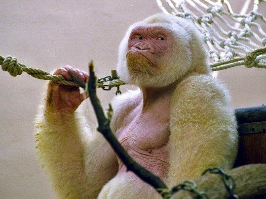 Единственный в мире известный горилла-альбинос появился в результате инцеста