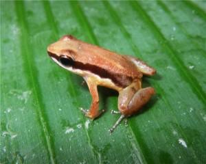 Немецкие биологи случайно обнаружили новый вид лягушек