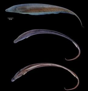 Неизвестный род электрических рыб обнаружен в Гайане