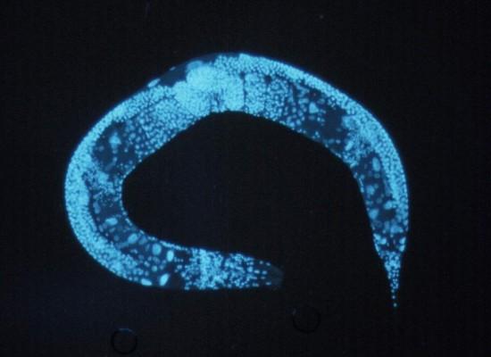 Строгая диета приостанавливает развитие и удваивает продолжительность жизни червей
