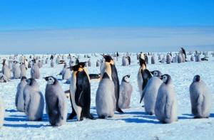 Снимки из космоса развеяли миф об императорских пингвинах