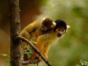 Разные лица обезьян блокируют межвидовое скрещивание