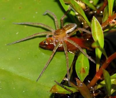 Удачная рыбалка паука Dolomedes facetus в садовом пруду возле городка Брисбене (Квинсленд, Австралия)