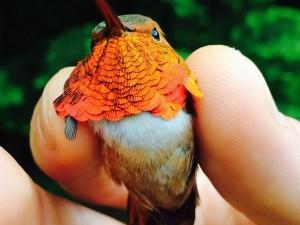 Особенно уязвимы к более сухих условиях в Тихоокеанском Северо-Западе рыжие колибри. Их популяция снижается со скоростью 3% в год.