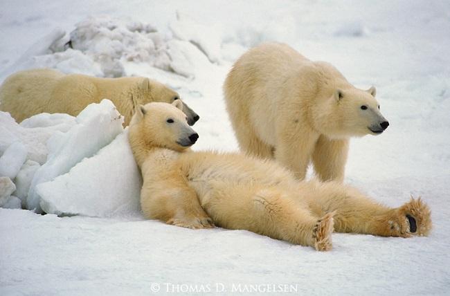 Группа голодных белых медведей кружат вокруг удаленного форпоста российских ученых