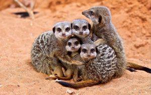 Несмотря на проживание в социальных группах, сурикаты были названы наиболее агрессивными млекопитающими известными науке