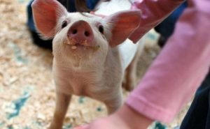 Свиньи могут быть оптимистами