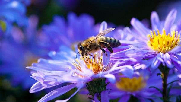Почему пчелы-самцы с неохотой собирают нектар