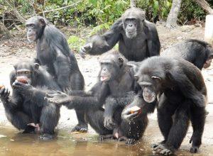 Шимпанзе узнают друг друга… по ягодицам