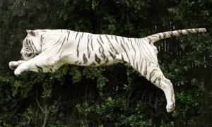 Белый бенгальский тигр прыгает в воздухе во время большого шоу