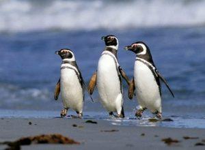 Где увидеть сразу 1 миллион пингвинов?