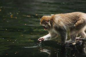 Дикие обезьяны спасли человека от гибели