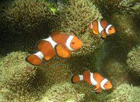 Образец отцовской любви – самец Anemonefish