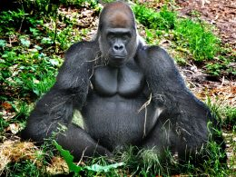 Костные гребни у самцов горилл определяют их привлекательность в глазах самок