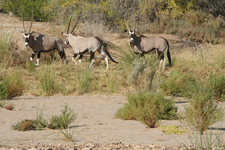 Ядовитые растения спасают жизнь сернобыков в намибийской пустыне