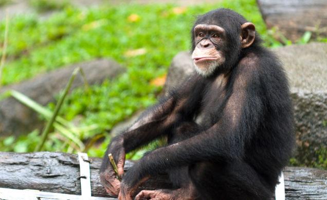 Шимпанзе любят индийскую и африканскую музыку