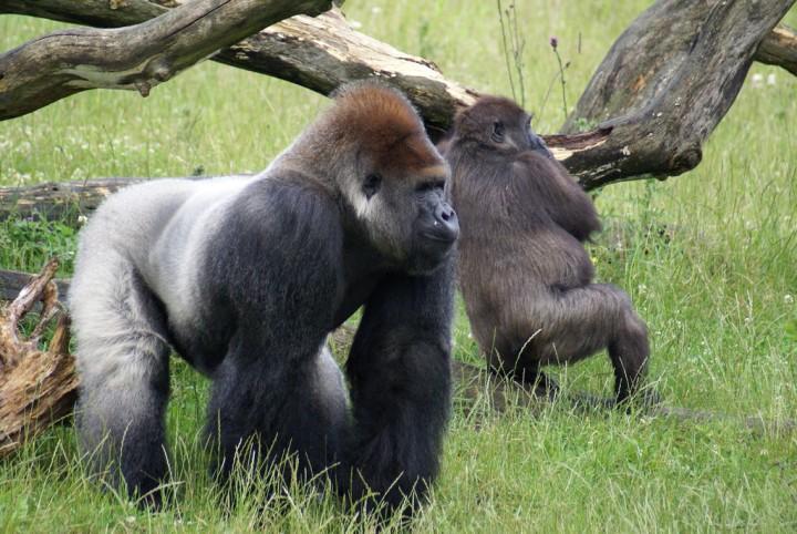 Самые огромные обезьяны в мире могут исчезнуть с лица земли