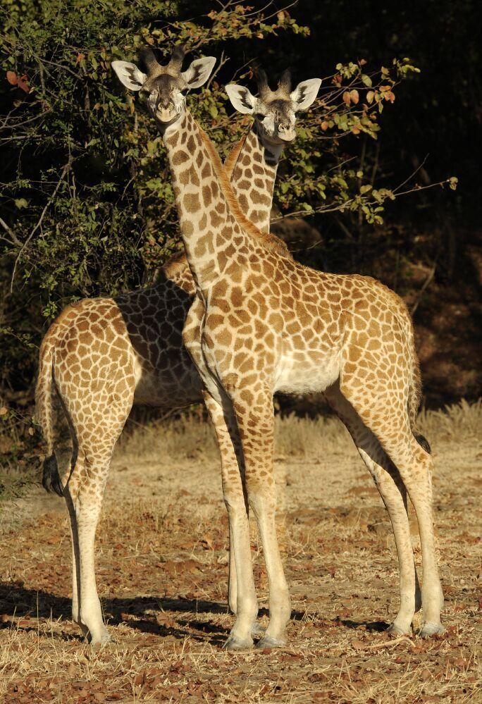 В природе живет четыре вида жирафов