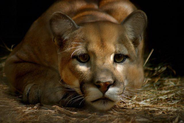 Отправляясь в поход, говорите тише – вы до полусмерти пугаете горных львов!
